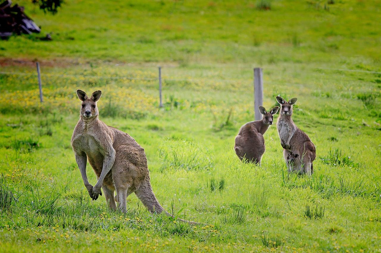 kangaroo-61196_1280