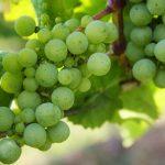 Praca przy winobraniu we Francji